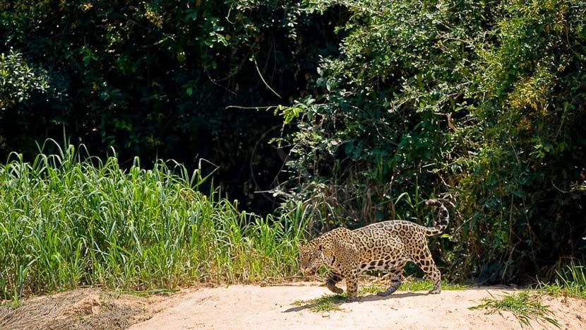 Hotel Pantanal Norte Porto Joffre, Jaguar au Pantanal, Brésil © Christophe Courteau
