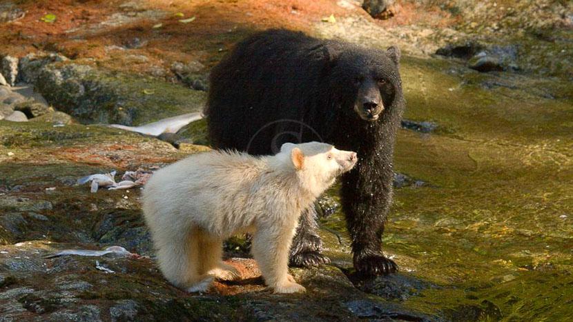 Spirit Bear Lodge, Spirit Bear Lodge, Canada