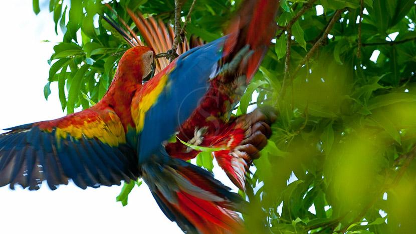 El Remanso Lodge, Aras dans le parc de Corcovado, Costa Rica
