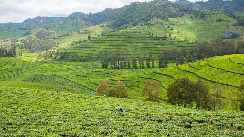 Cormoran Lodge, Rizières vers le lac Kivu, Rwanda © L. Guillot
