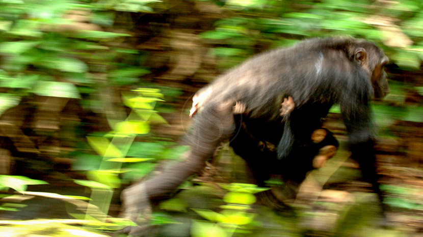 Greystoke Mahale, Safari à Greystoke Mahale, Tanzanie © Nomad
