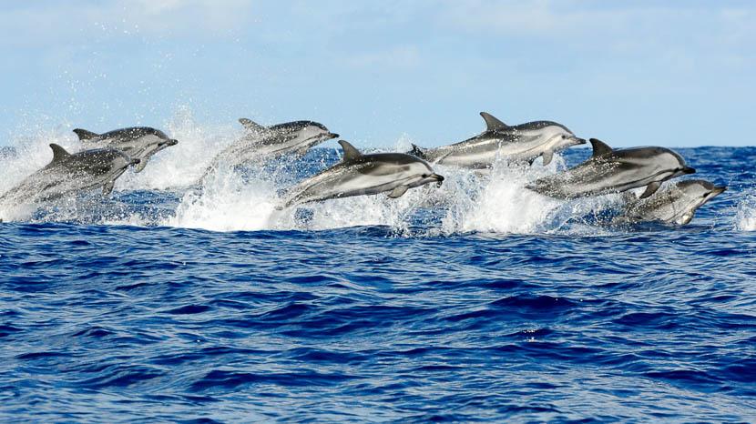 Açores, Observation des dauphins aux Açores