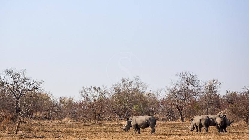 Réserve d'Hluhluwe-Umfolozi, Africa on foot , Klaserie Private Game Reserve, Afrique du Sud