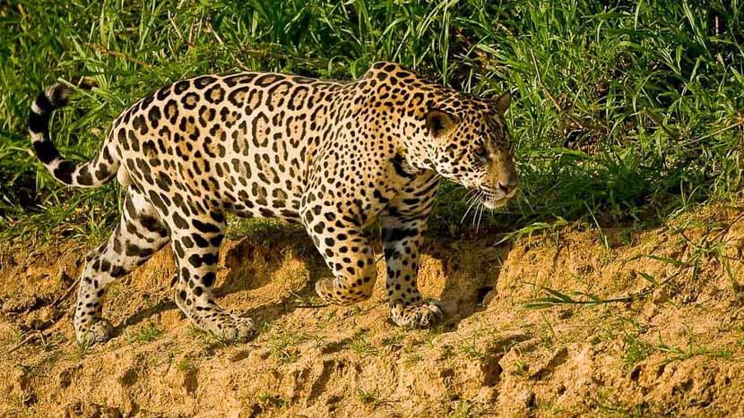 Brésil, Jaguar au Pantanal, Brésil © Christophe Courteau