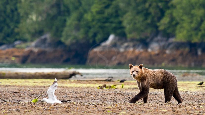 Colombie-Britannique, Grizzly sur l'ile de Vancouver, Canada © Patrick Gallet
