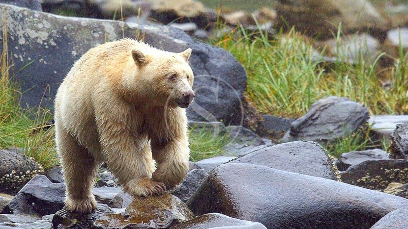 Colombie-Britannique, Spirit Bear Lodge, Canada