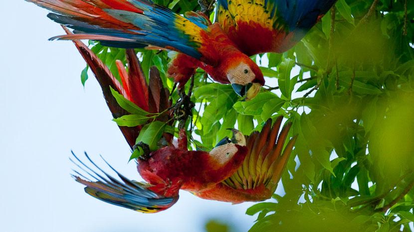 Costa Rica, Aras dans le parc de Corcovado, Costa Rica