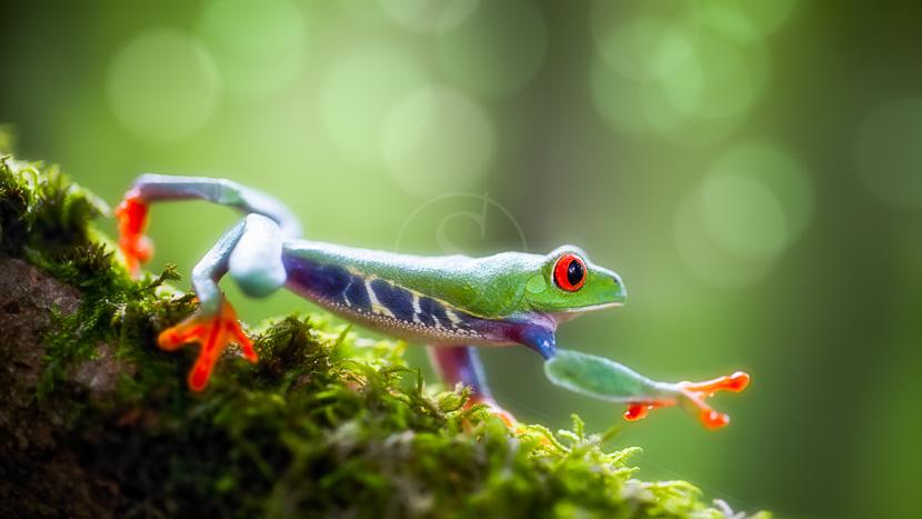 Parc National Tenorio, Rainette aux yeux rouges, Amérique centrale