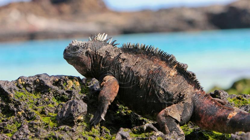 Equateur, Iguane marin aux Galapagos, Equateur