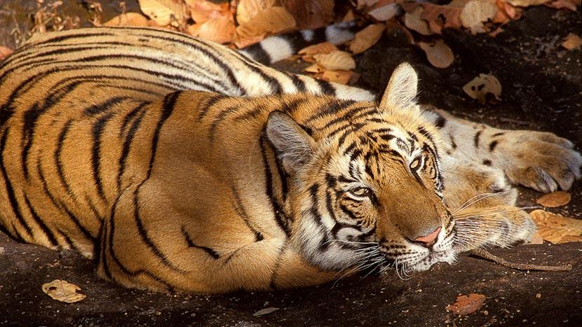 Inde, Safari Tigre en Inde © Alain Pons