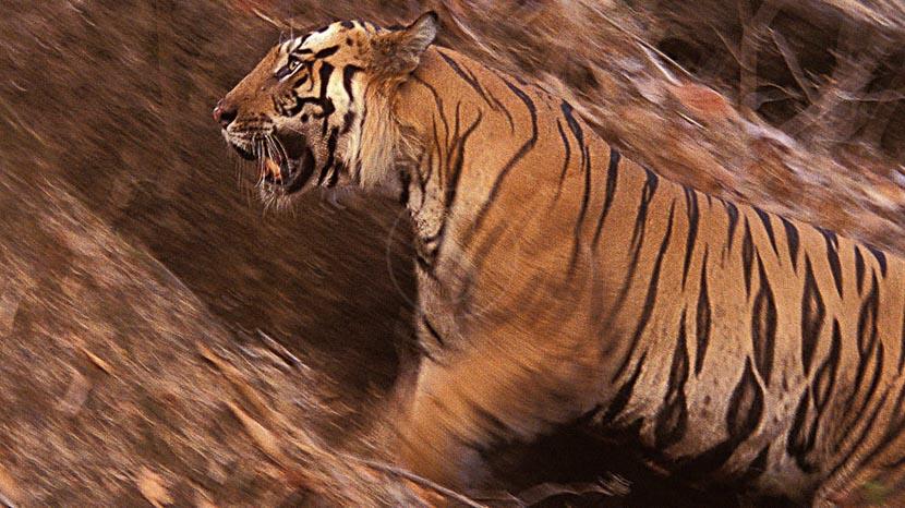Parc national de Bandhavgarh , Safari Tigre en Inde © Alain Pons