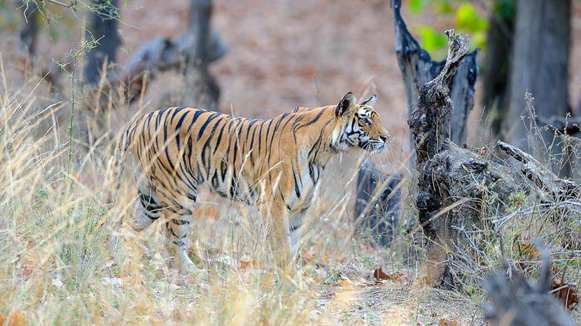 Kanha National Park, Safari Tigre en Inde © Alain Pons