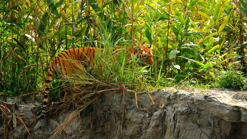 Parc national de Kaziranga, Safari tigre à Kaziranga, Inde © Gilles Georget