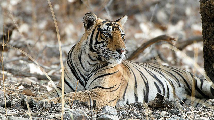 Parc national de Pench , Safari Tigre en Inde © Alain Pons