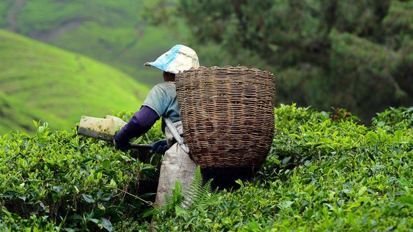 Les Cameron Highlands, Cueillette du thé dans les Cameron Highlands, Malaisie