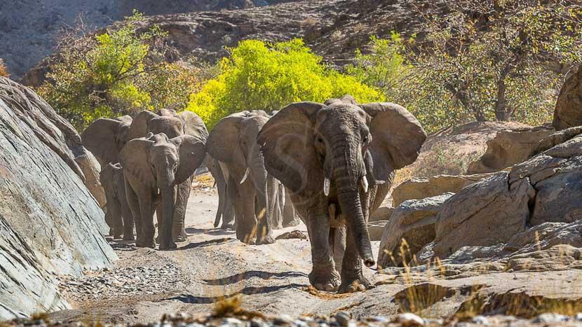 Damaraland, Eléphants du désert, Namibie © Christophe Courteau