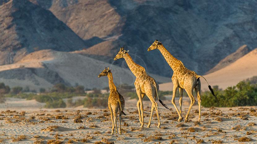 Damaraland, Girafes dans le Namib, Namibie © Christophe Courteau
