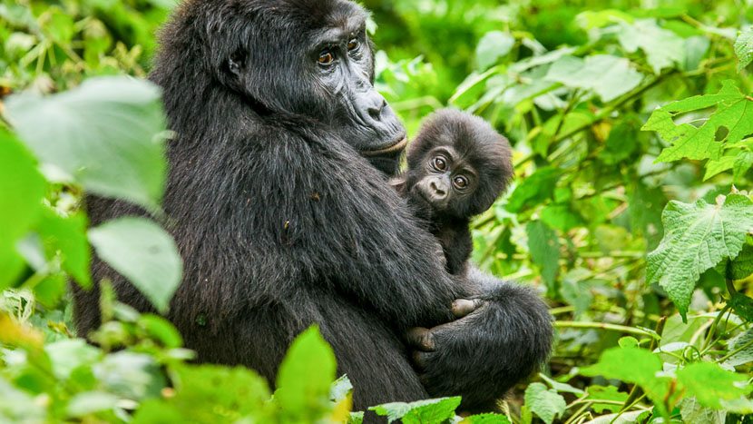 Ouganda, Forêt de Bwindi, Ouganda