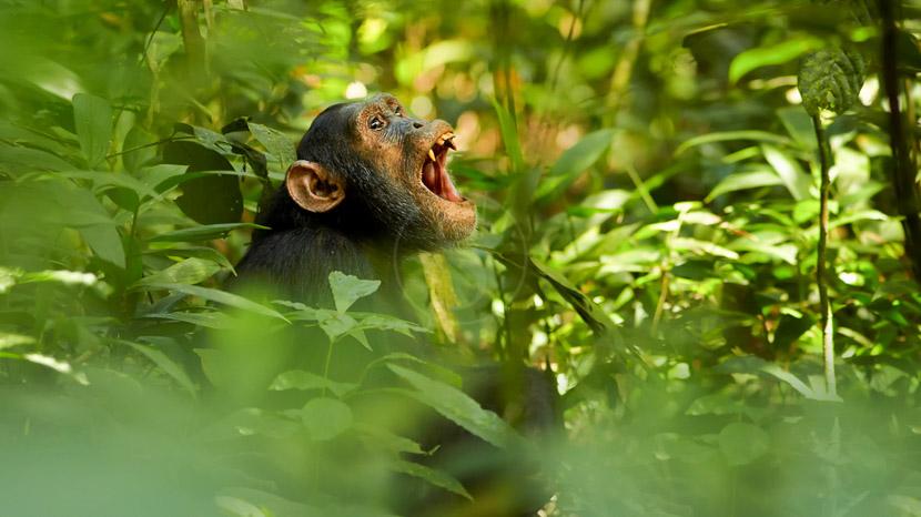 Ouganda, Chimpanzé dans la forêt de Kibale, Ouganda