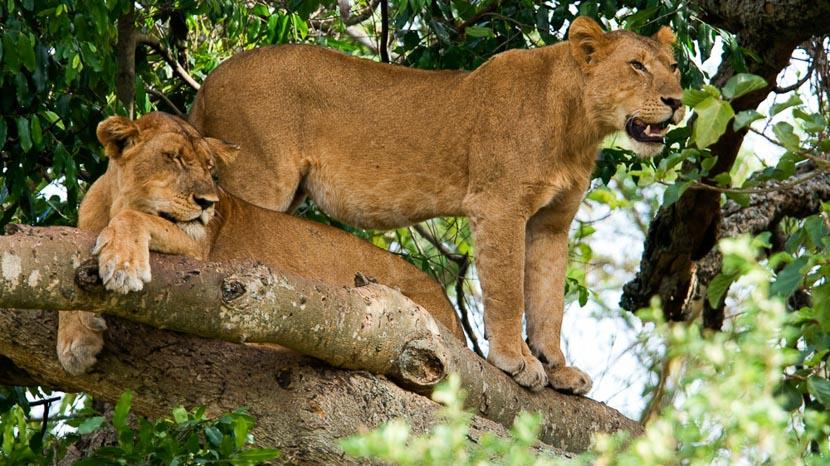 Ishasha, Parc National Queen Elizabeth, Ishasha Wilderness Camp, Ouganda