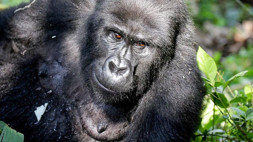 Mgahinga National Park, Gorilles des montagnes à Bwindi, Ouganda © Corinne Le G.
