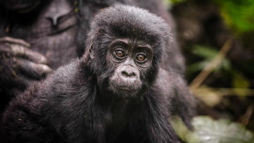 Mgahinga National Park, Sanctuary Gorilla Forest Camp, Ouganda © Sanctuary Retreats