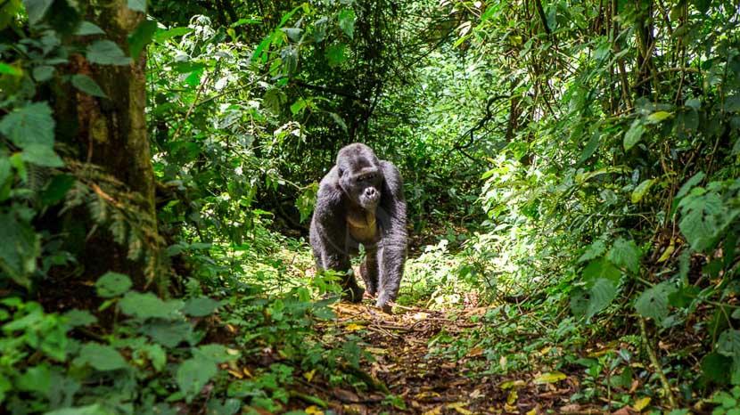 Mgahinga National Park, Forêt de Bwindi, Ouganda