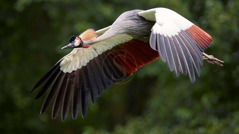 Mweya, Parc National Queen Elizabeth, Grue Couronnée, Ouganda