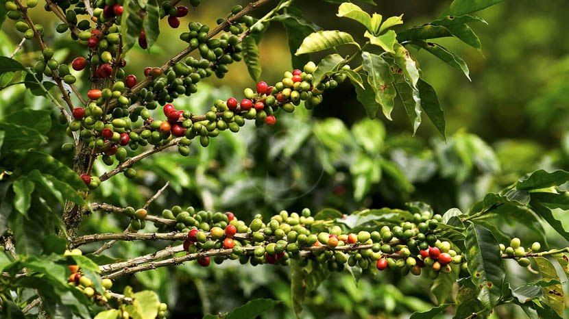 La région de Chiriqui, Région du café, Panama