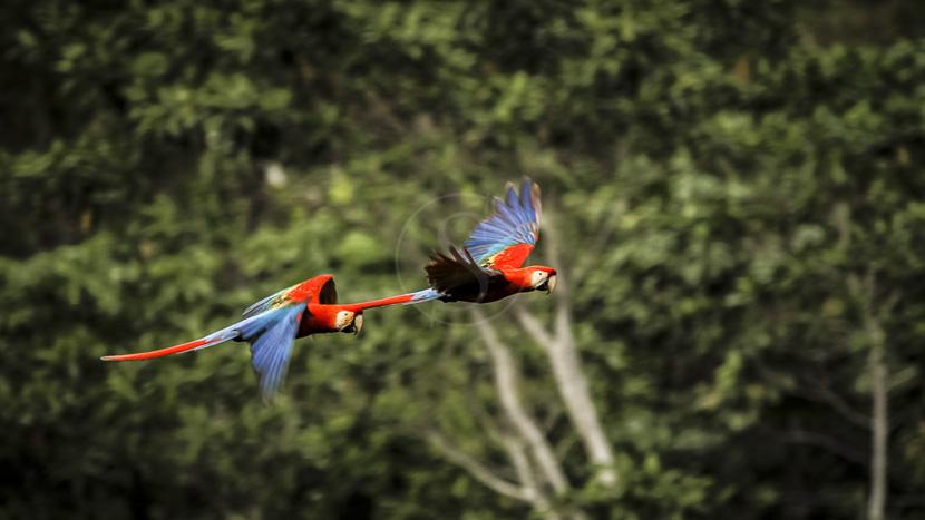 Les Colpas de Tembopata, Parc de Tambopata, Pérou