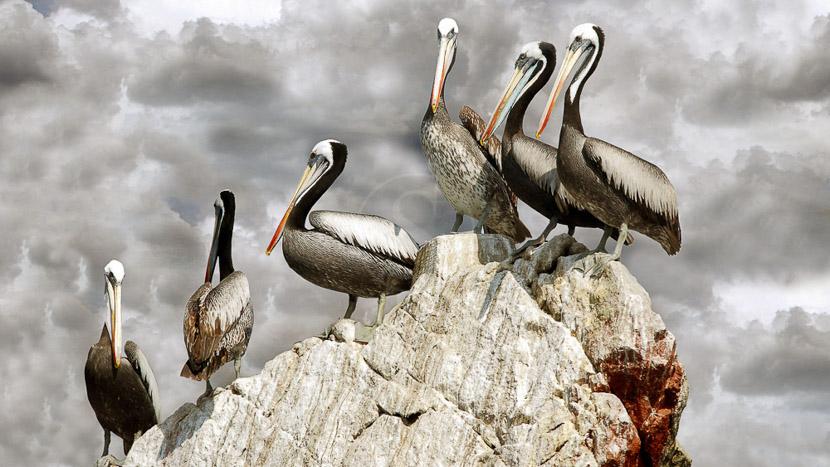 Balade aux îles Ballestas, Région de Paracas, Pérou
