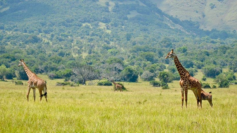 Rwanda, Safari au Rwanda © Julien M.