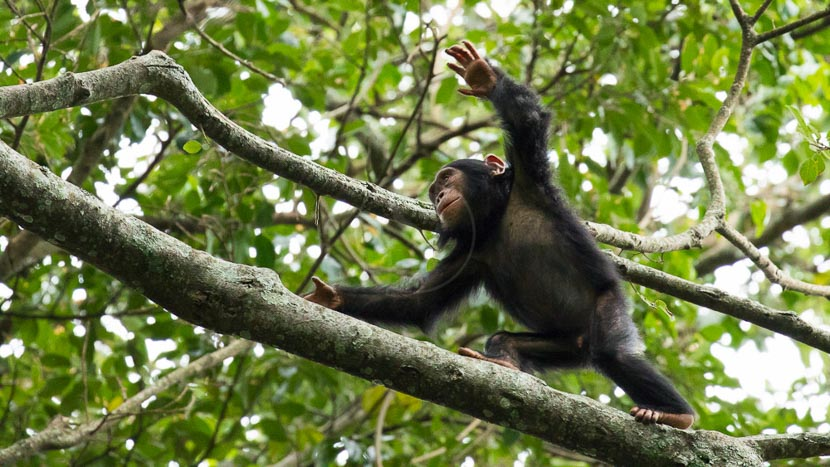 Rwanda, Chimpanzés à Nyungwe, Rwanda © L. Guillot