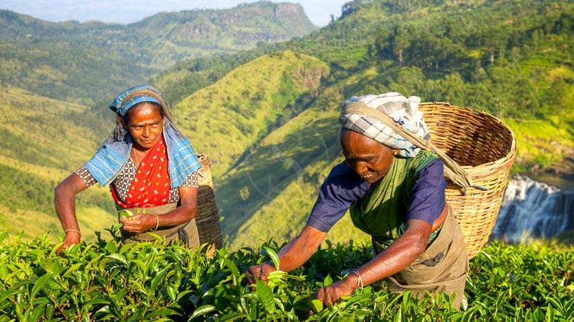 Sri Lanka, Plantations de thé, Sri Lanka