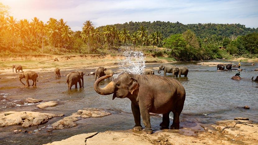 Sri Lanka, Parc National de Pinnawala, Sri Lanka